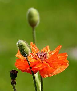 mohn-orange