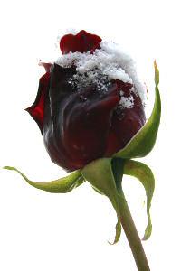 rose-mit-schnee