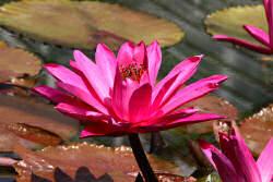 lotus-rot
