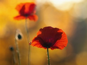 Mohn im Gegenlicht