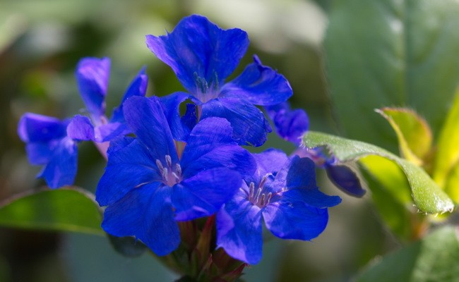 Blütenbild von Ceratostigma