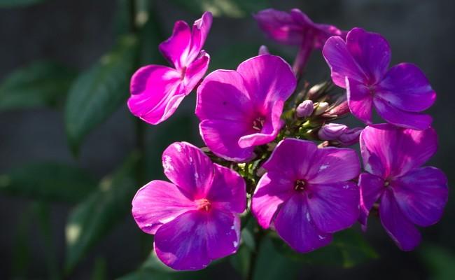 Phloxblüte